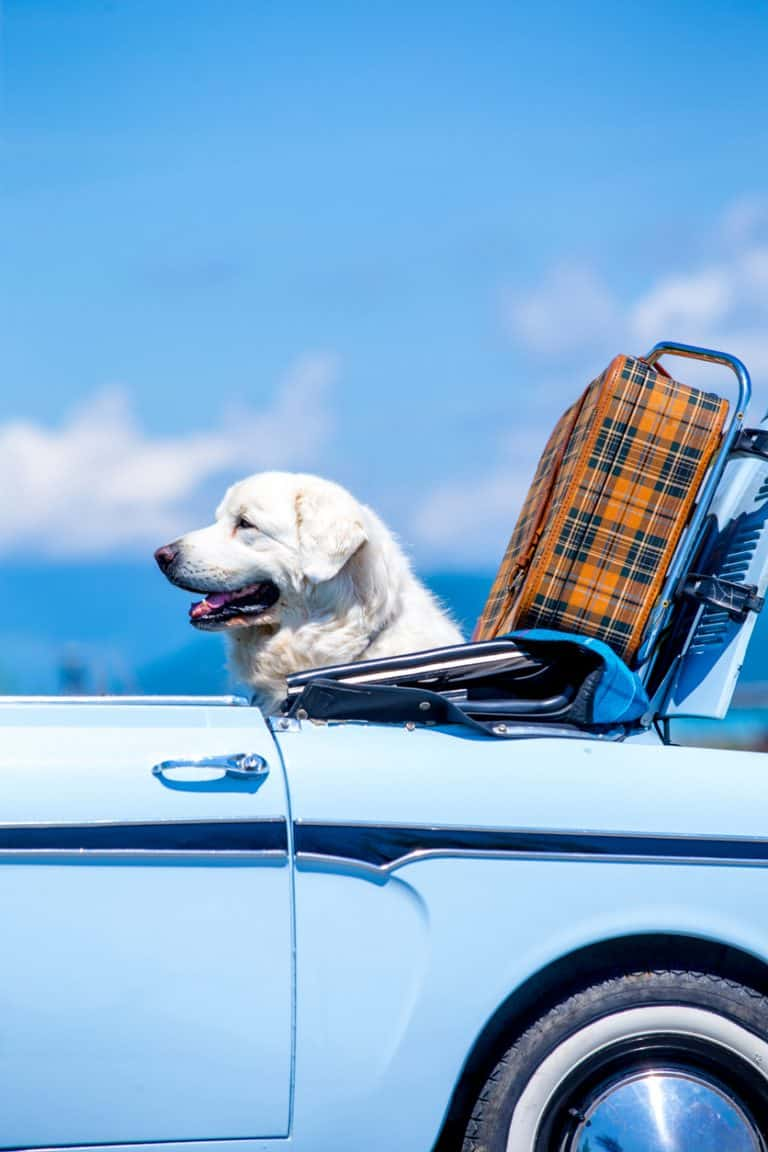 """Travelling by Car with """"Fido & Fluffy"""""""